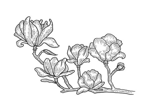 Magnolia tree blossom sketch engraving vector illustration. T-shirt apparel print design. Scratch board style imitation. Black and white hand drawn image.
