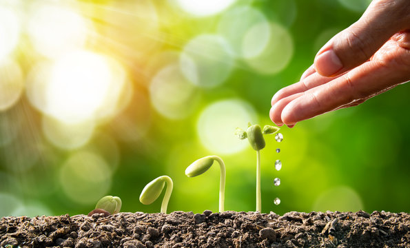 Farmer Hand Watering Young Plants In Growing on sunlight. Plant concept
