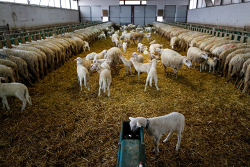 Sheep are seen in a factory producing a hard and salty cheese called Pecorino Romano, a product which may be hit by U.S. tariffs