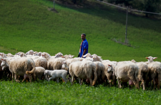 A shepherd grazes the sheep in a field outside a factory producing a hard and salty cheese called Pecorino Romano, a product which may be hit by U.S. tariffs, in Fiano Romano