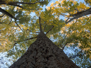 Looking up at colourful cottonwood trees in autumn