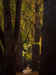 Cottonwood alley in Regensburg, Bavaria during autumn