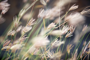 Foto auf Acrylglas Cappuccino close up of dry reeds grass background