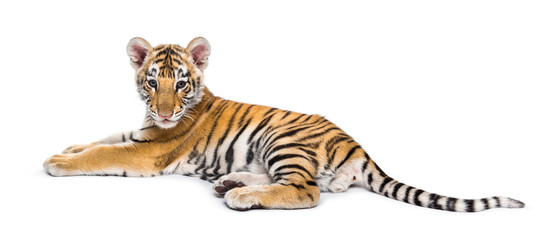 Foto op Plexiglas Tijger Two months old tiger cub lying against white background