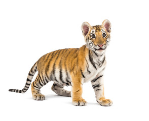 Wall Mural - Two months old tiger cub standing against white background