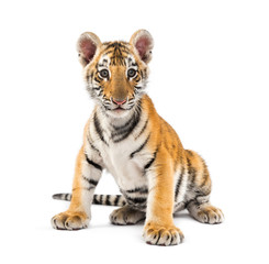 Wall Mural - Two months old tiger cub sitting against white background