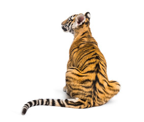 Wall Mural - Back view on a two months old tiger cub sitting, isolated on white