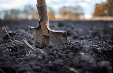 natural background with old rusty shovel stands stuck in the black earth on the vegetable garden in the autumn garden