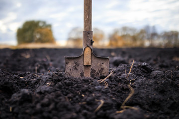 Fototapeta metal old shovel is stuck in the black soil of the earth in the vegetable garden in the autumn garden during agricultural work