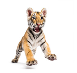 Wall Mural - Two months old tiger cub pouncing isolated on white