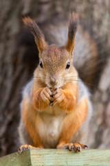 Printed kitchen splashbacks Squirrel animal