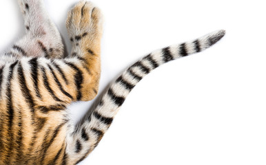 Wall Mural - Close up of two months old tiger cubs tail in white studio