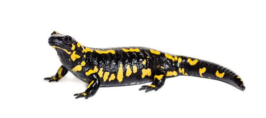 Wall Mural - Fire salamander, Salamandra salamandra, isolated
