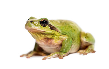 Mediterranean tree frog, Hyla meridionalis