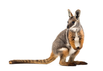 Deurstickers Kangoeroe Yellow-footed rock-wallaby, Petrogale xanthopus, kangaroo