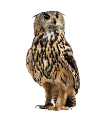 Wall Mural - Eurasian eagle-owl, Bubo bubo, is a species of eagle-owl