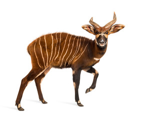 Bongo, antelope, Tragelaphus eurycerus walking against white