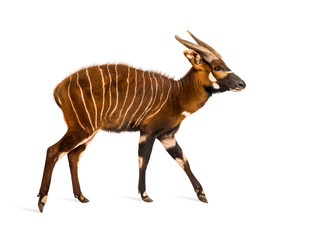 Bongo, antelope, Tragelaphus eurycerus walking against white