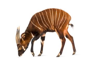 Bongo, antelope, Tragelaphus eurycerus standing