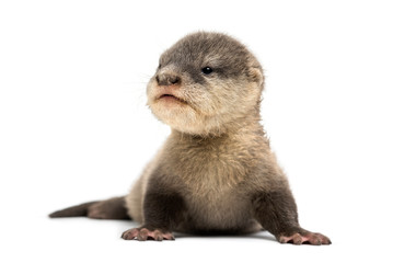 Wall Mural - Baby Asian small-clawed otter, Amblonyx cinerea, also known as t