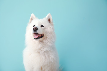 Photo sur Aluminium Chien Cute Samoyed dog on color background