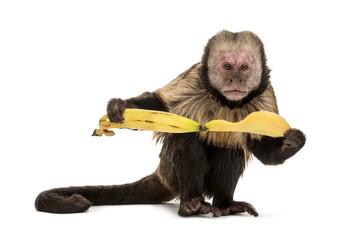 Fotorolgordijn Aap Golden-Bellied Capuchin, Sapajus xanthosternos