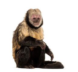 Fototapete - Golden-Bellied Capuchin, Sapajus xanthosternos