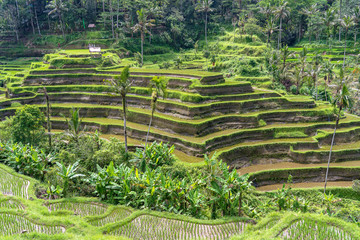 Garden Poster Rice fields Green rice fields on terraces near Ubud, tropical island Bali, Indonesia . Nature concept