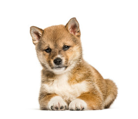 Fototapete - Shiba Inu puppy, 8 weeks old sitting against white background