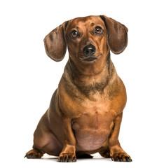 Fototapete - Fat dachshund sitting against white background