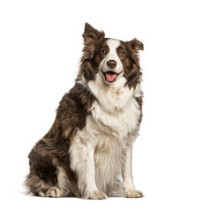 Fototapete - Fat Border Collie, 6 years old sitting against white background