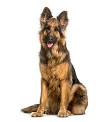 Fototapete - Old German Shepherd Dog sitting against white background