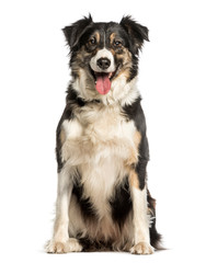 Fototapete - Border Collie sitting against white background