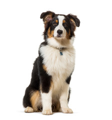 Wall Mural - Australian shepherd sitting against white background