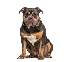 Fototapete - American Bully sitting against white background