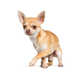 Wall Mural - Chihuahua standing against white background