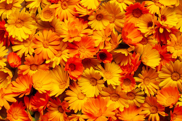 Calendula officinalis, the pot marigold, ruddles, common marigold or Scotch marigold. Many marigold flowers as an orange background.