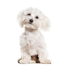 Fototapete - Maltese sitting against white background