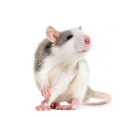 Fototapete - Young Rat against white background