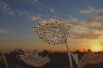 Close up view of withered sunflower at sunset