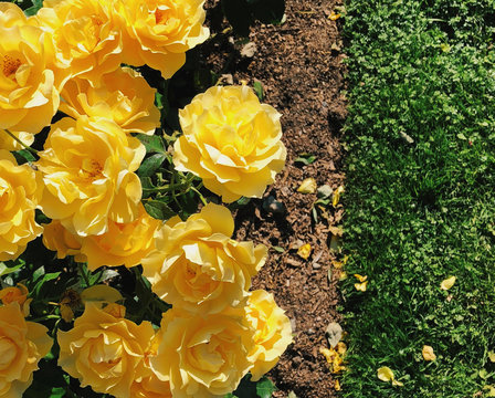 Close up view of yellow roses