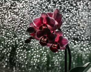 Blooming red orchid flower