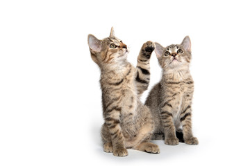 Two cute kittens looking up