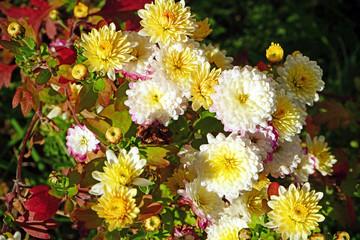 Chrysanthemen im September Herbst, weiß, gelblich und rötlich, im Garten