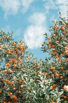 Tangerines growing on tree against cloudy sky