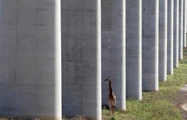 A giraffe walks near the elevated railway line that allows movement of animals below the Standard Gauge Railway line linking Nairobi and Naivasha inside the Nairobi national park in Nairobi