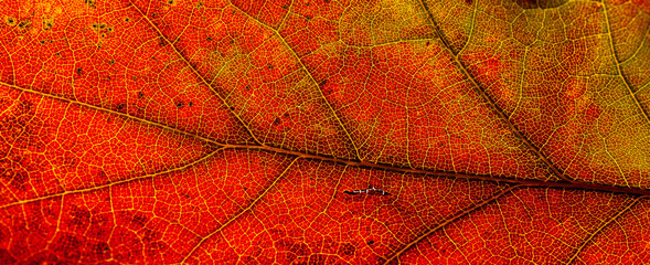 Red and yellow leaves macro, veins on transparent leave. Golden autumn.