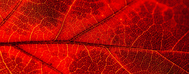 Red and yellow leaves macro, veins on transparent leave. Golden autumn. Wall mural