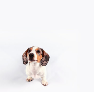 small cute dachshund puppy dog looking funny on plain white background