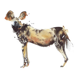 African painted dog hunting dog safari animal wildlife watercolor painting illustration isolated on white background